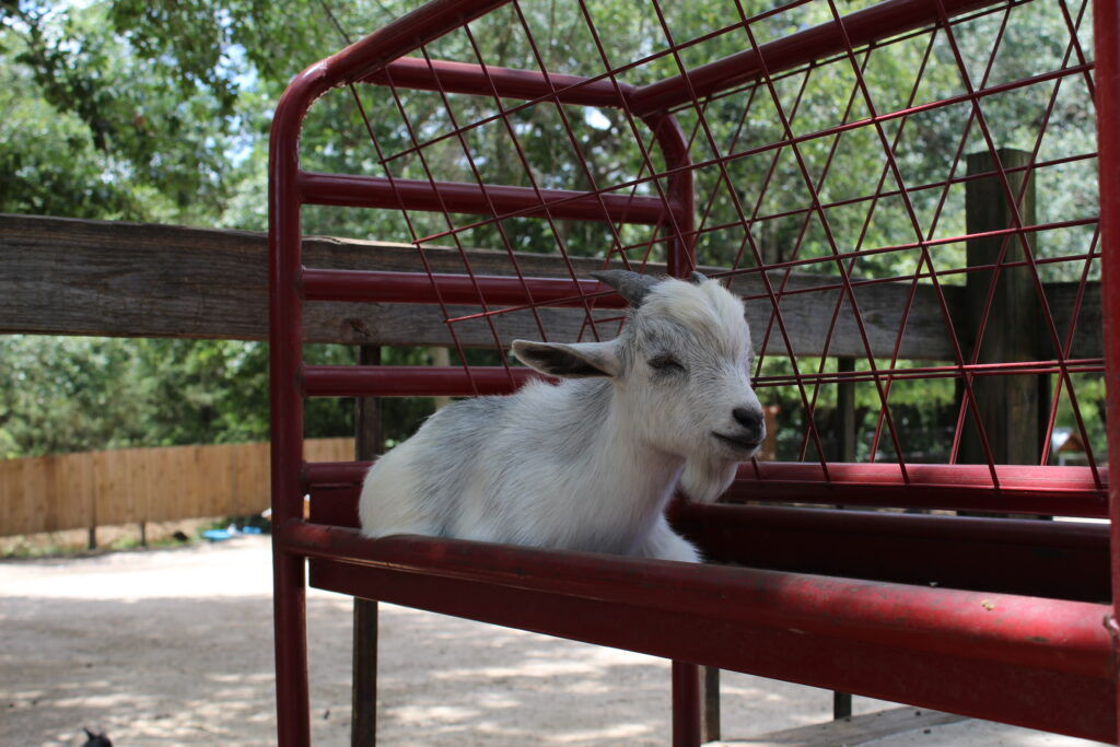 Goat on a bench at Fifth Day Farm